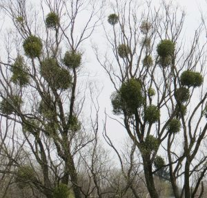 Mistletoe (this is how we saw it growing in Poland) once represented death and, ironically, castration, not the promise of romance it now signifies